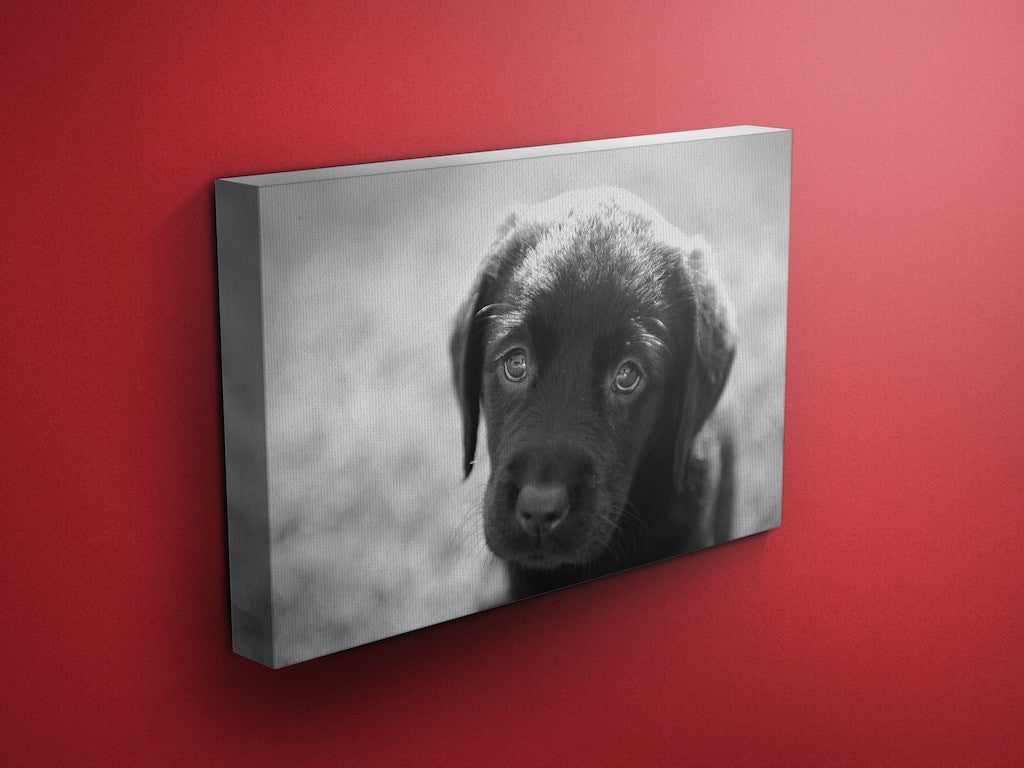 Puppy Eyes Labrador Canvas