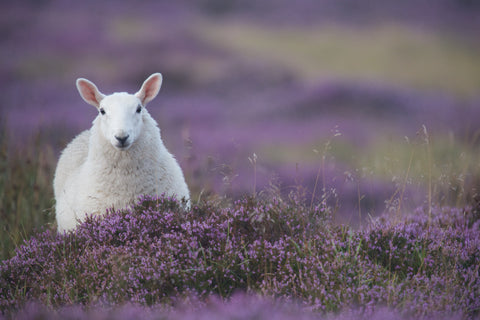Heather Fluffball Sheep Canvas