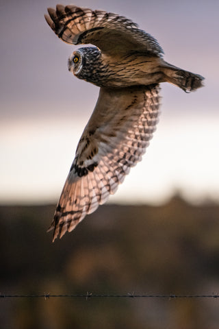 Short Eared Owl at Dawn Canvas