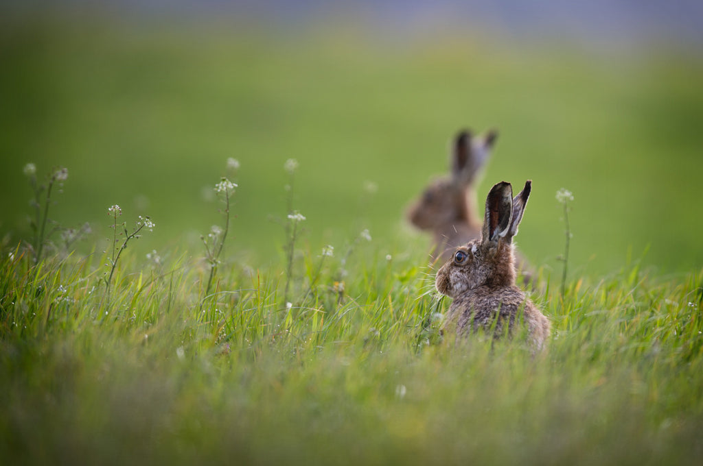 Summer Hares Print