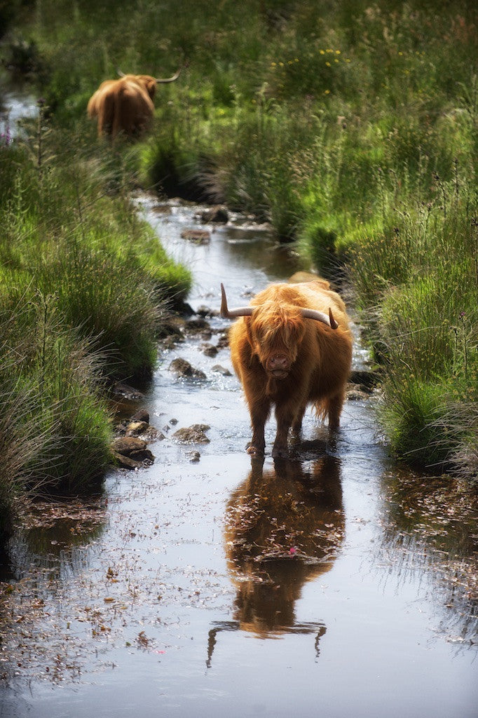 Summer Paddle Highland Cow Print