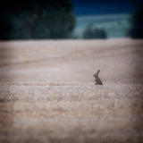 JUMBO ART - THE LONE HARE - HUGE 1 Metre Square Canvas