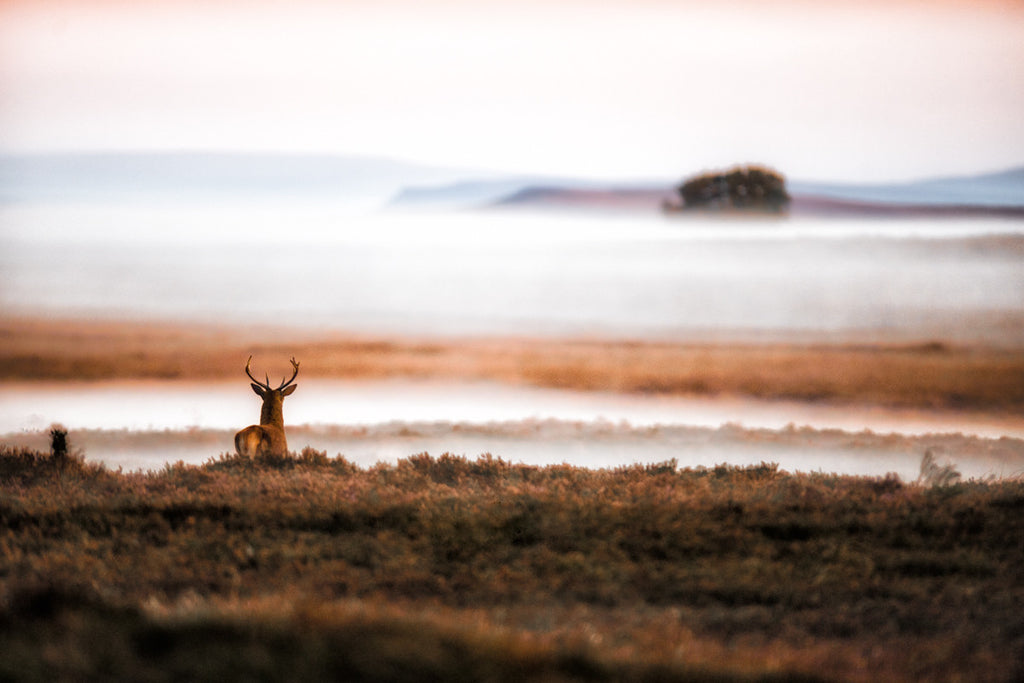 The Stag and The Heather - Deer Canvas