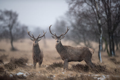 The Two Stags - Stag Canvas