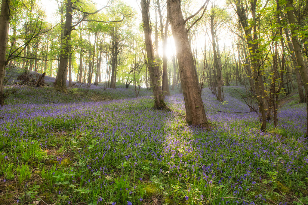 The Bluebell Woods Landscape Canvas