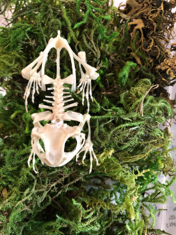 Asian pond frog skeleton