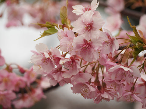 Cherry Blossom - VAPOLOCITY's Online Store