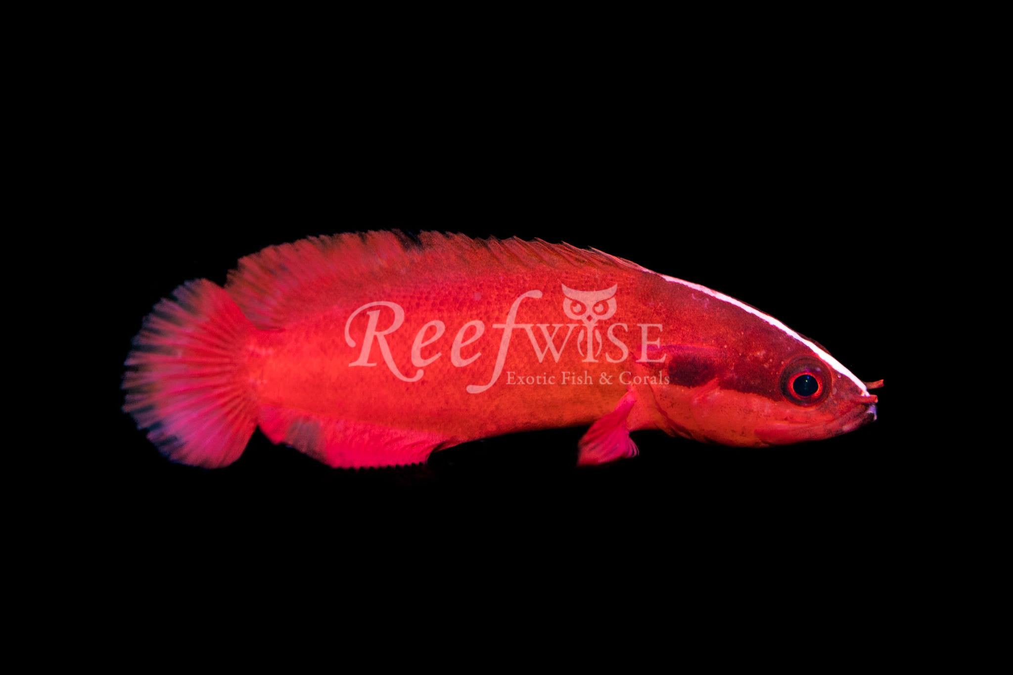 Dwarf Red Soapfish
