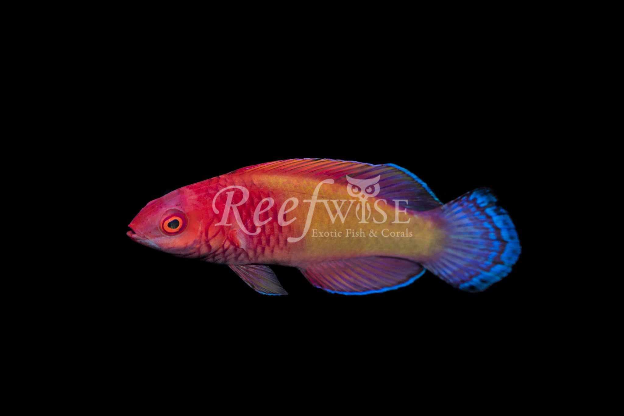 Rosy Scale Fairy Wrasse