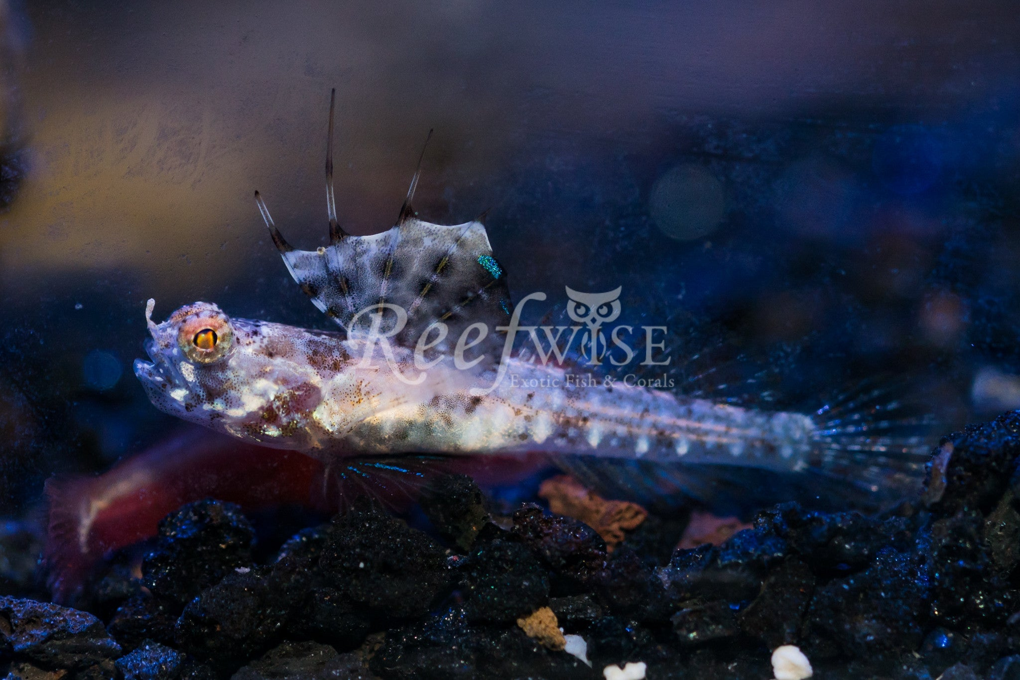 Nudus Magnificent Shrimp Goby with Shrimp