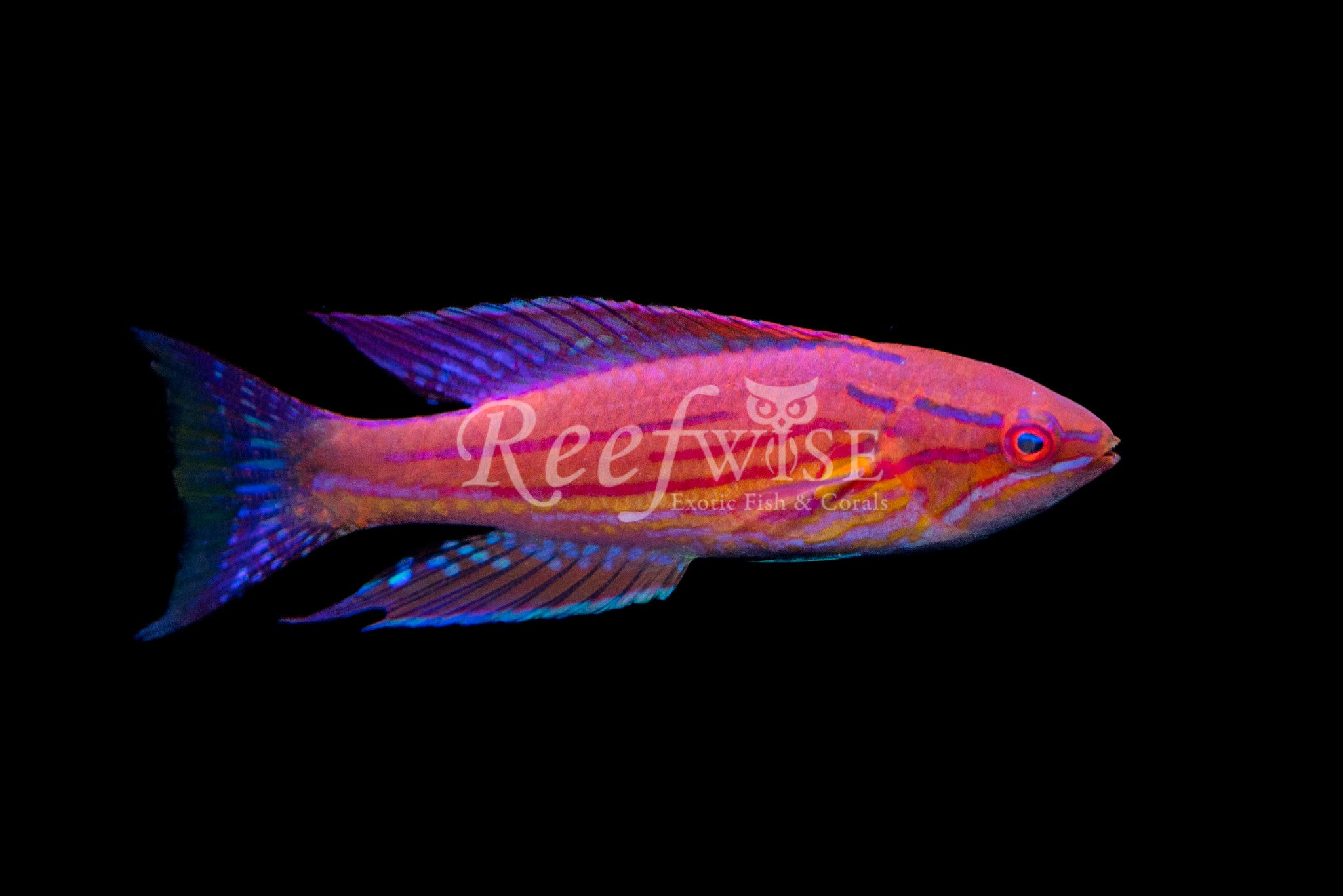 Royal Flasher Wrasse Male