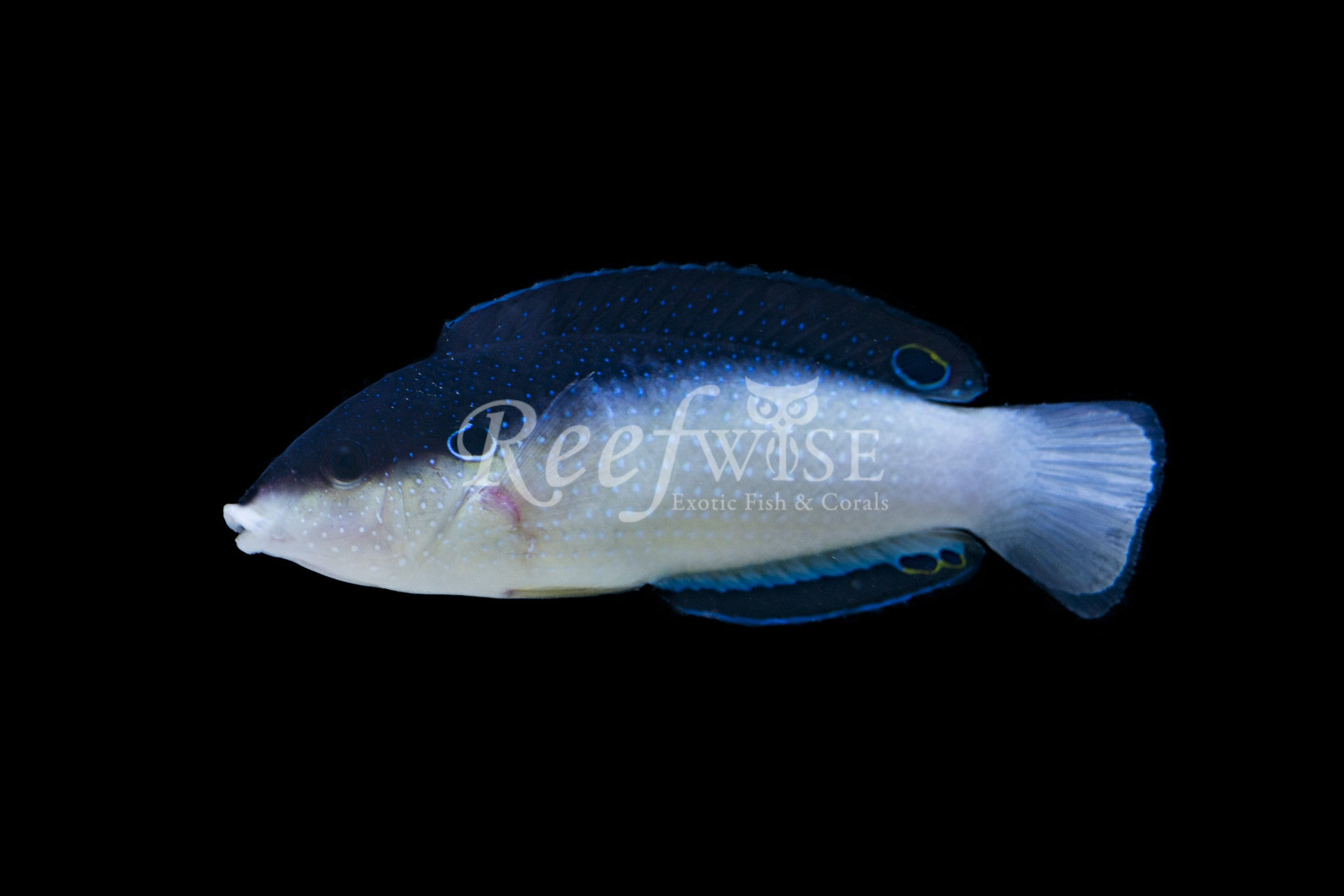 China Tamarin Wrasse