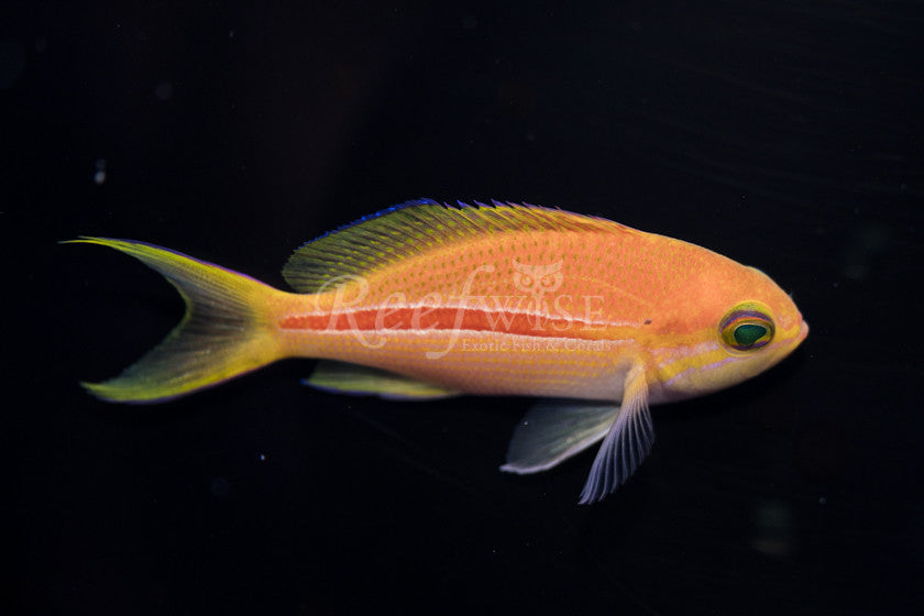 Red Stripe Anthias - Reefwise