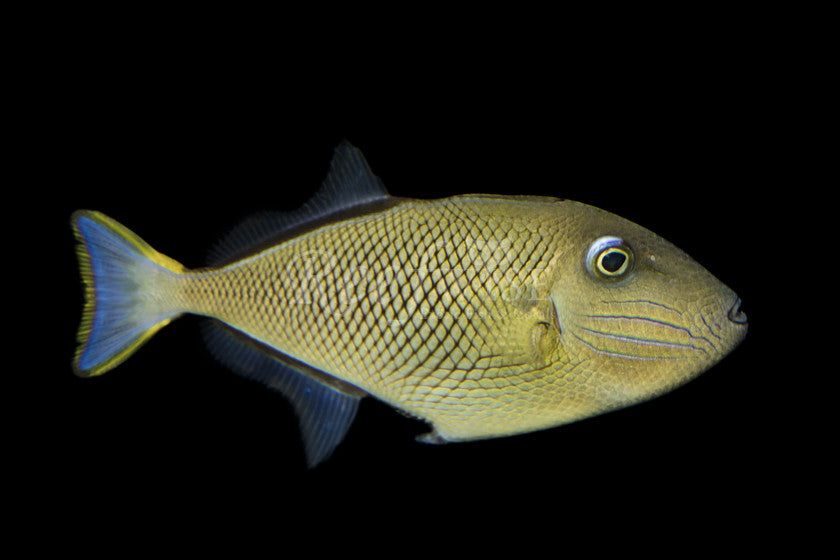 Crosshatch Triggerfish (Juvenile) - Reefwise
