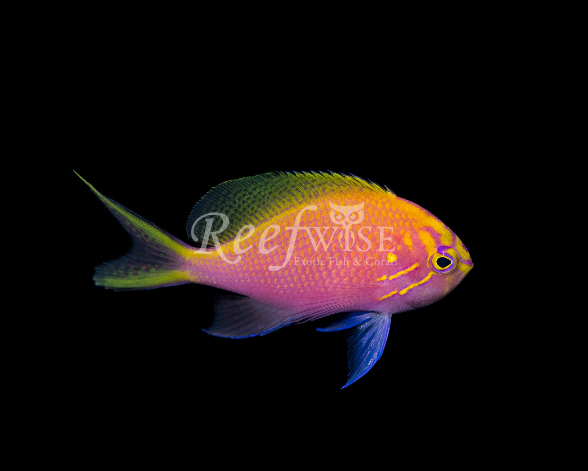 Sunburst Fathead Anthias