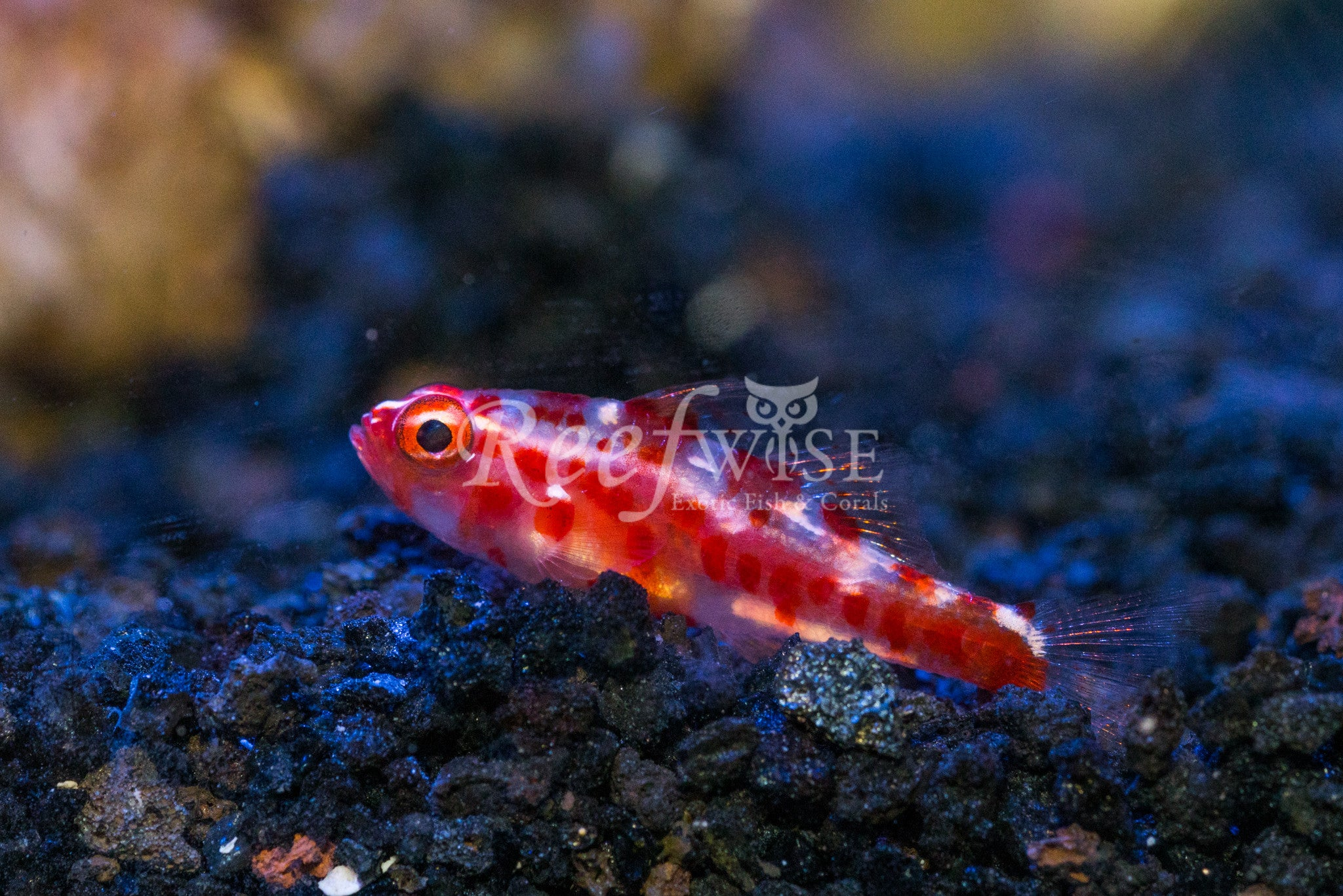 Red Spotted Trimma Goby