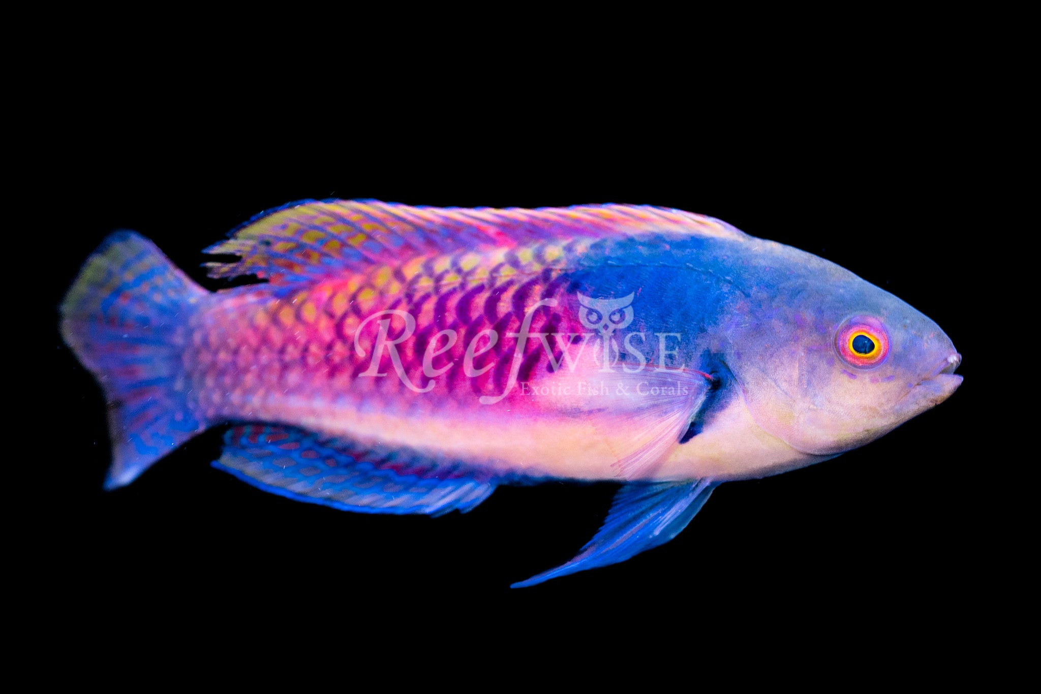 Yellow Flank Fairy Wrasse