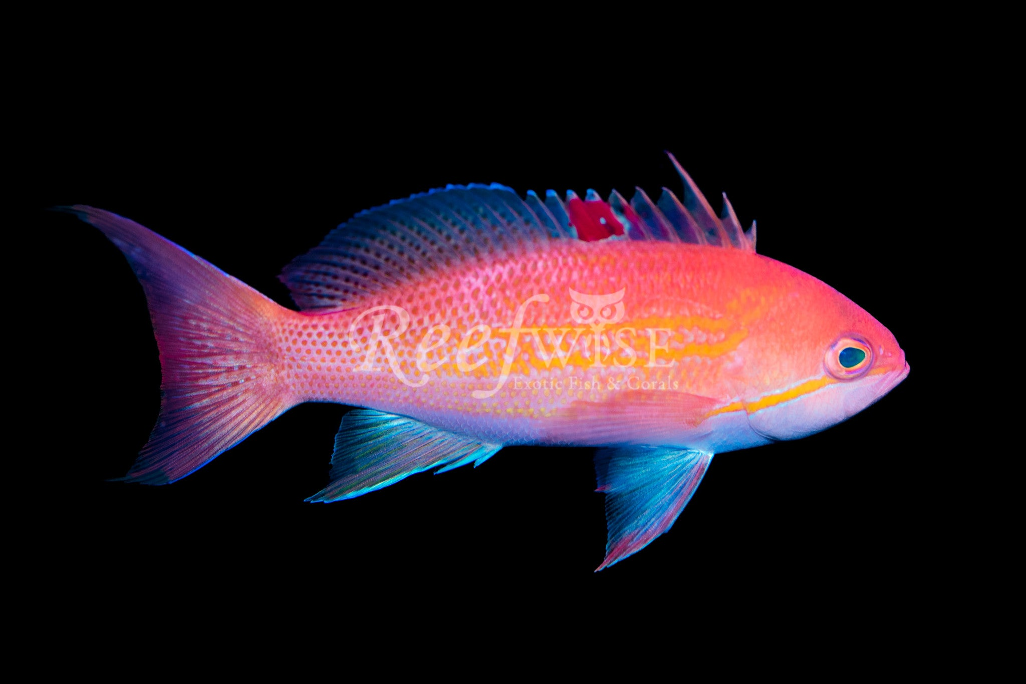 Luzonensis Anthias