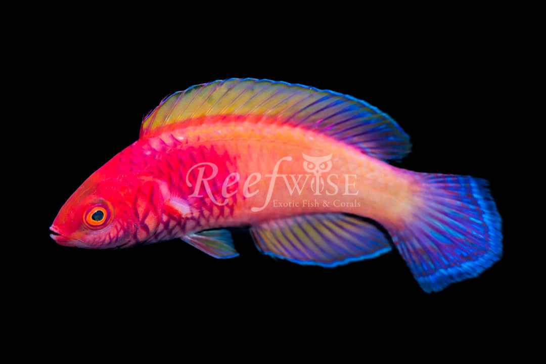 Rosy Scale Fairy Wrasse Supermale