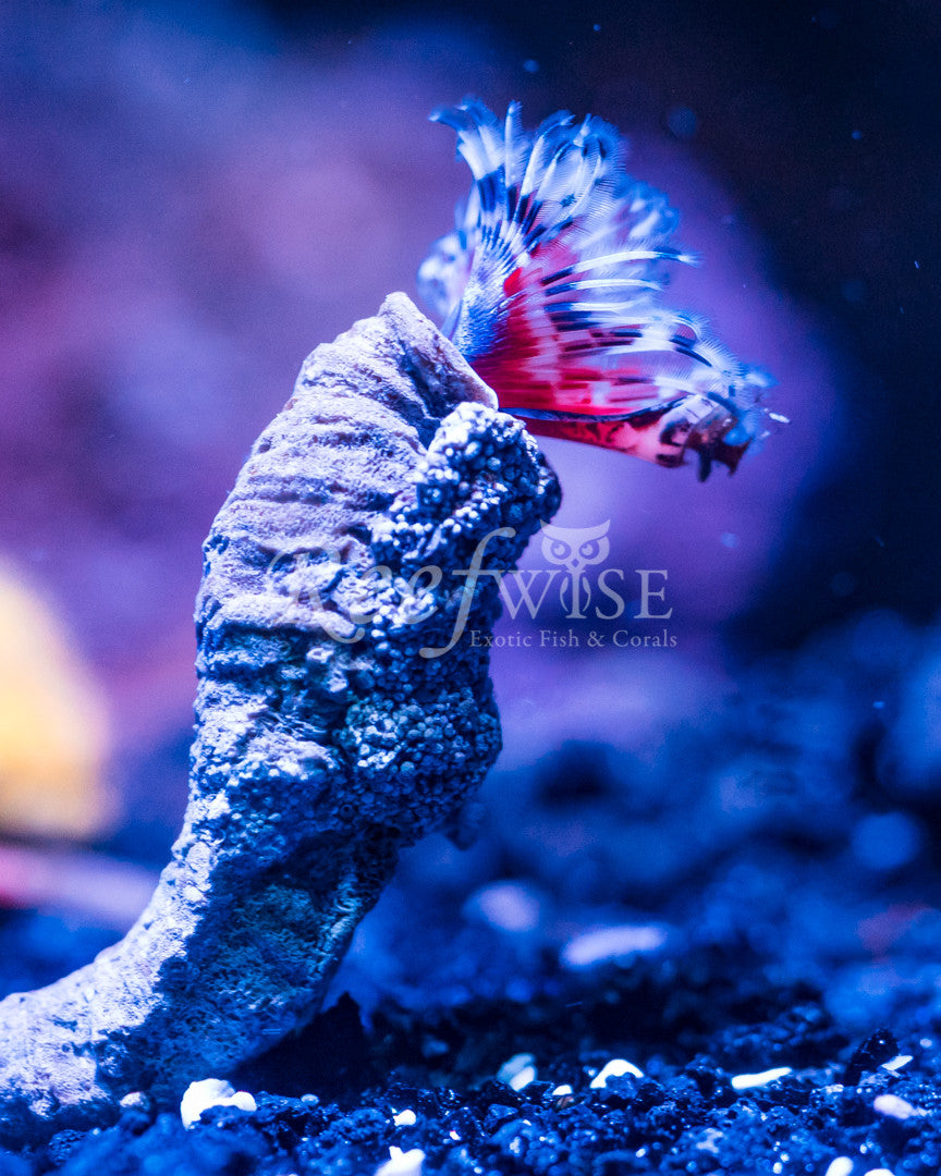 Red Xmas Worm Mini