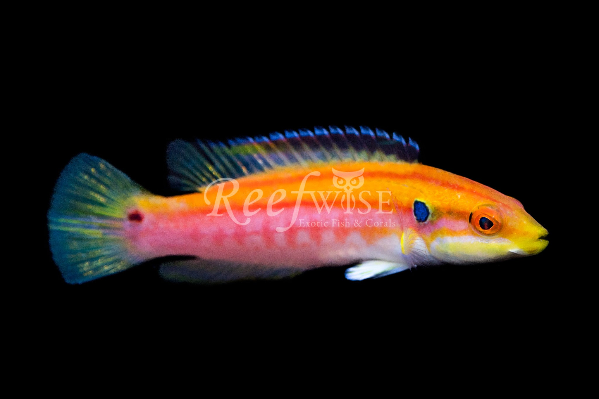 Yellow Candy Hogfish Blackfin