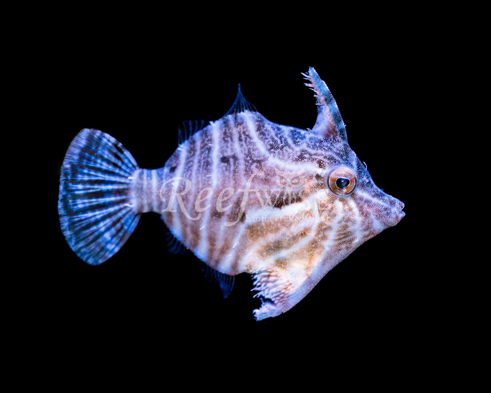 Zebra Radiata Filefish