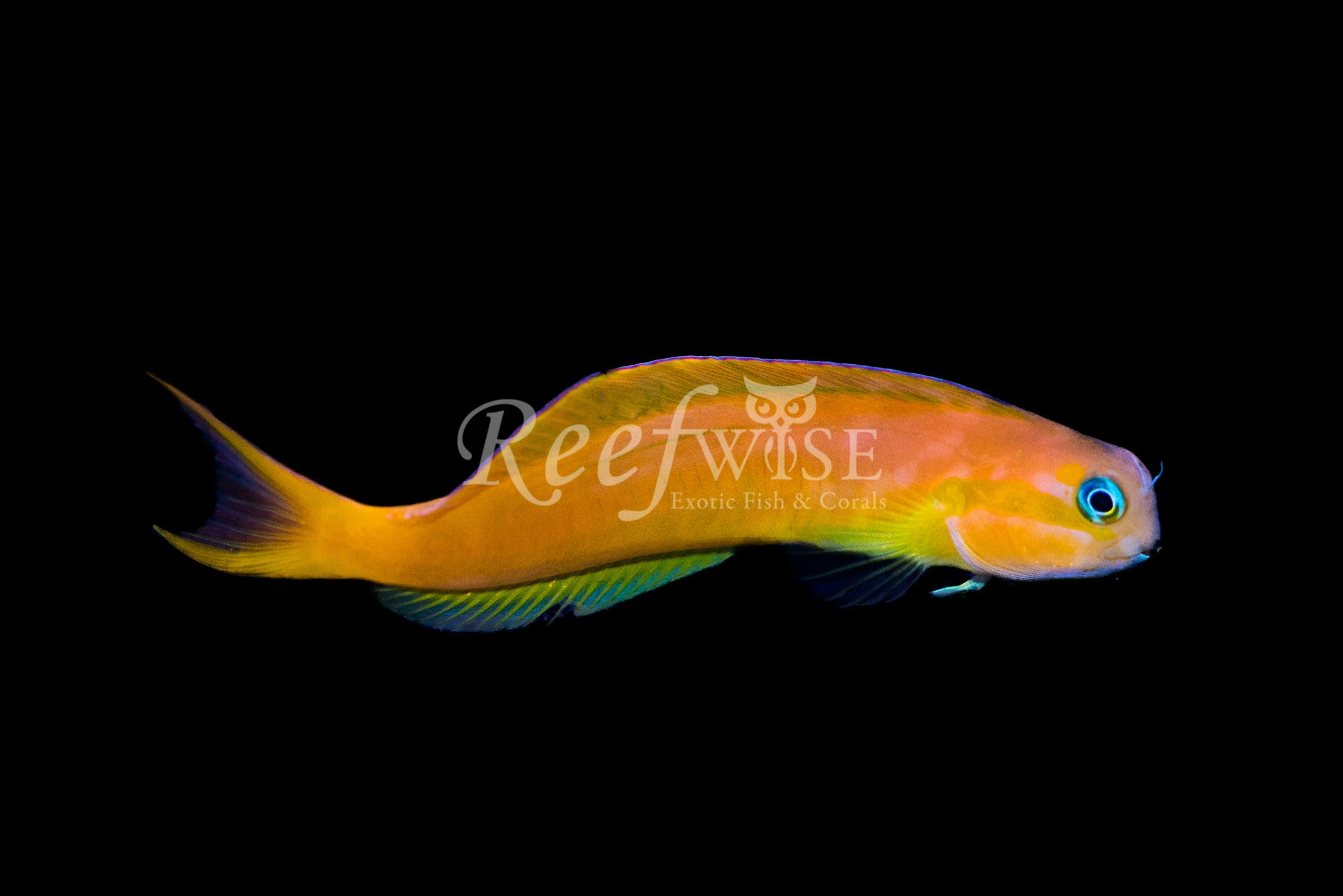Midas Blenny Gold