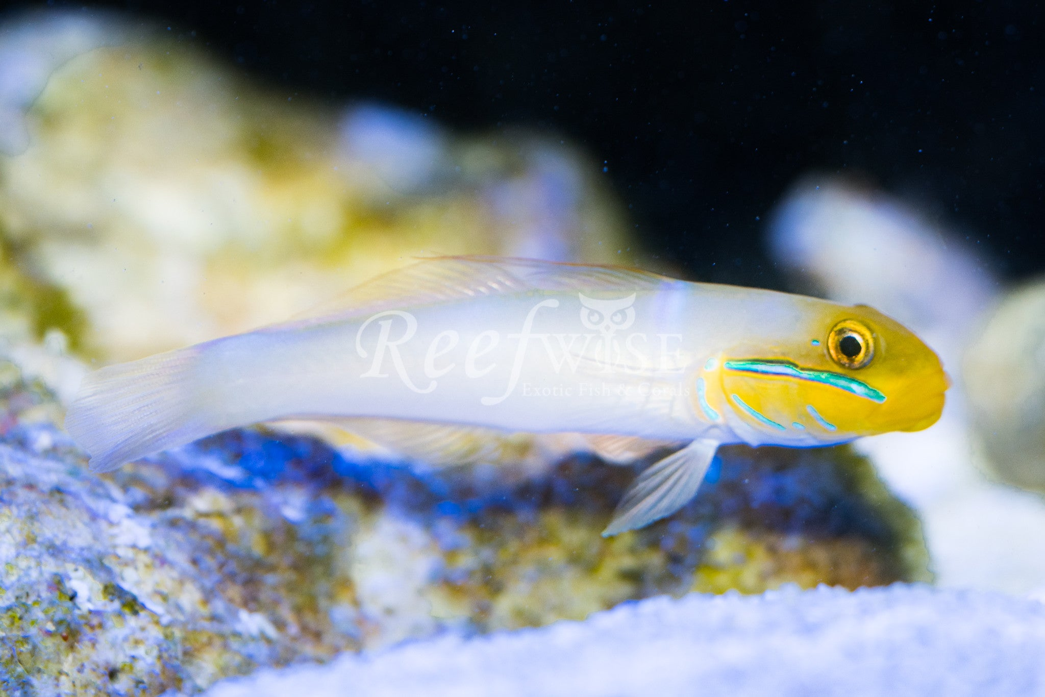 Gold Head Sleeper Goby