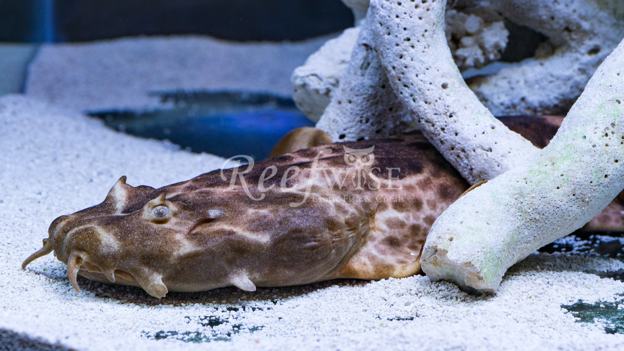Northern Wobbegong Shark WYSIWYG