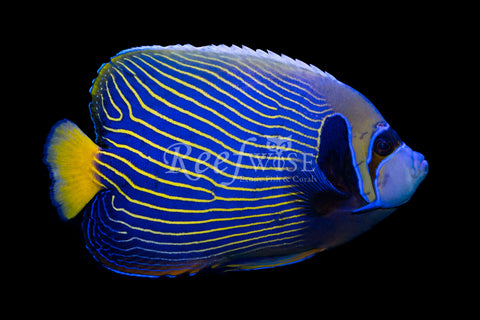 Orangetail Emperor Angelfish