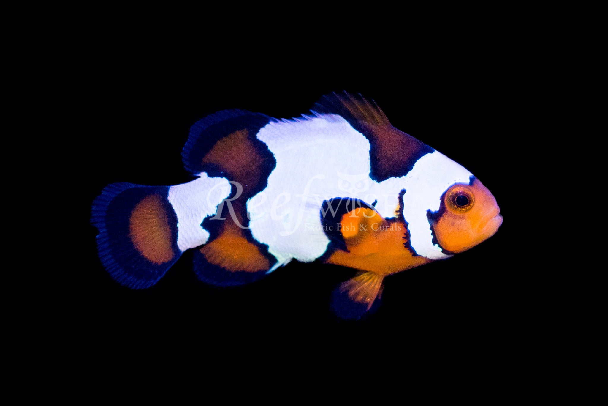 Wide Band Picasso Clownfish WYSIWYG