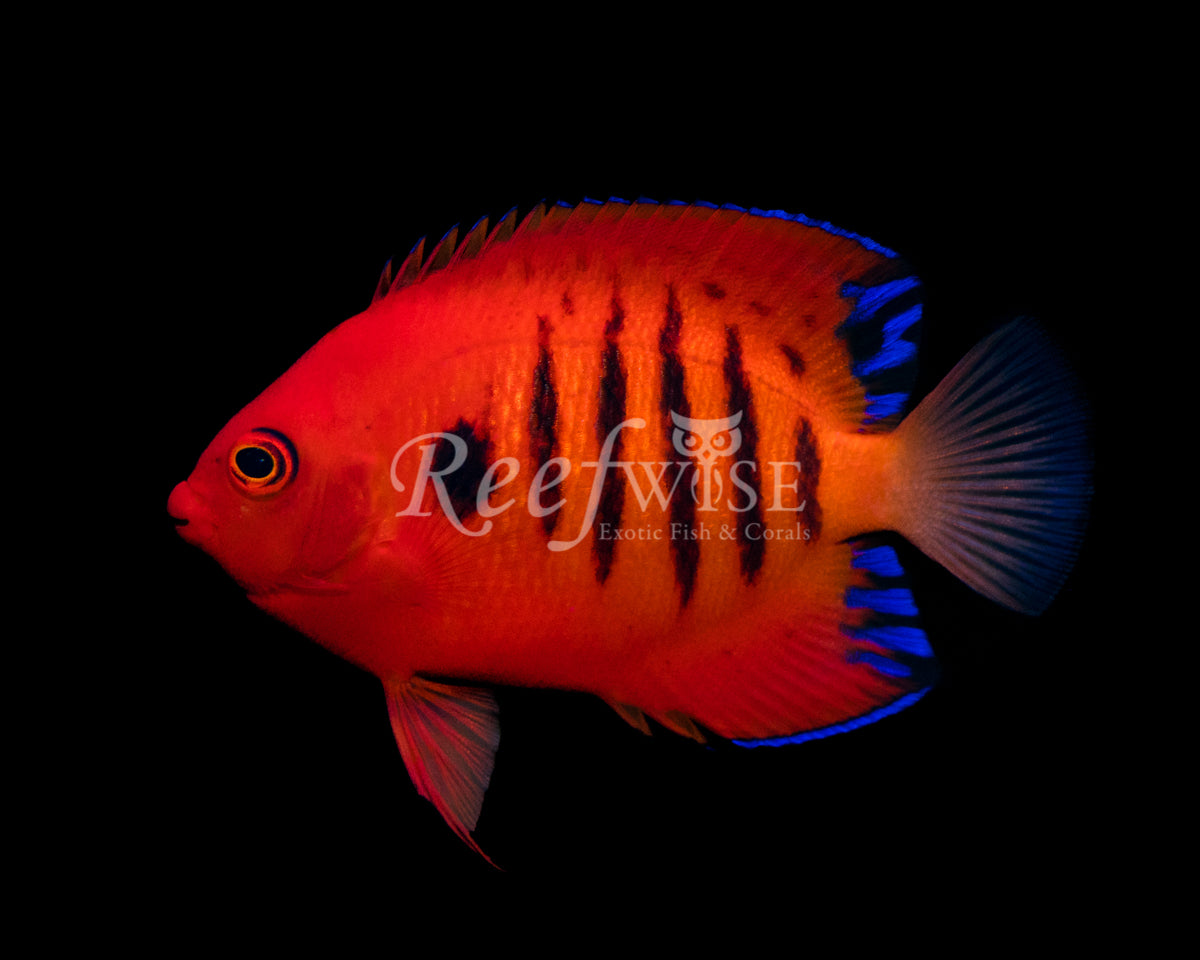 Hawaiian Flame Angelfish WYSIWYG