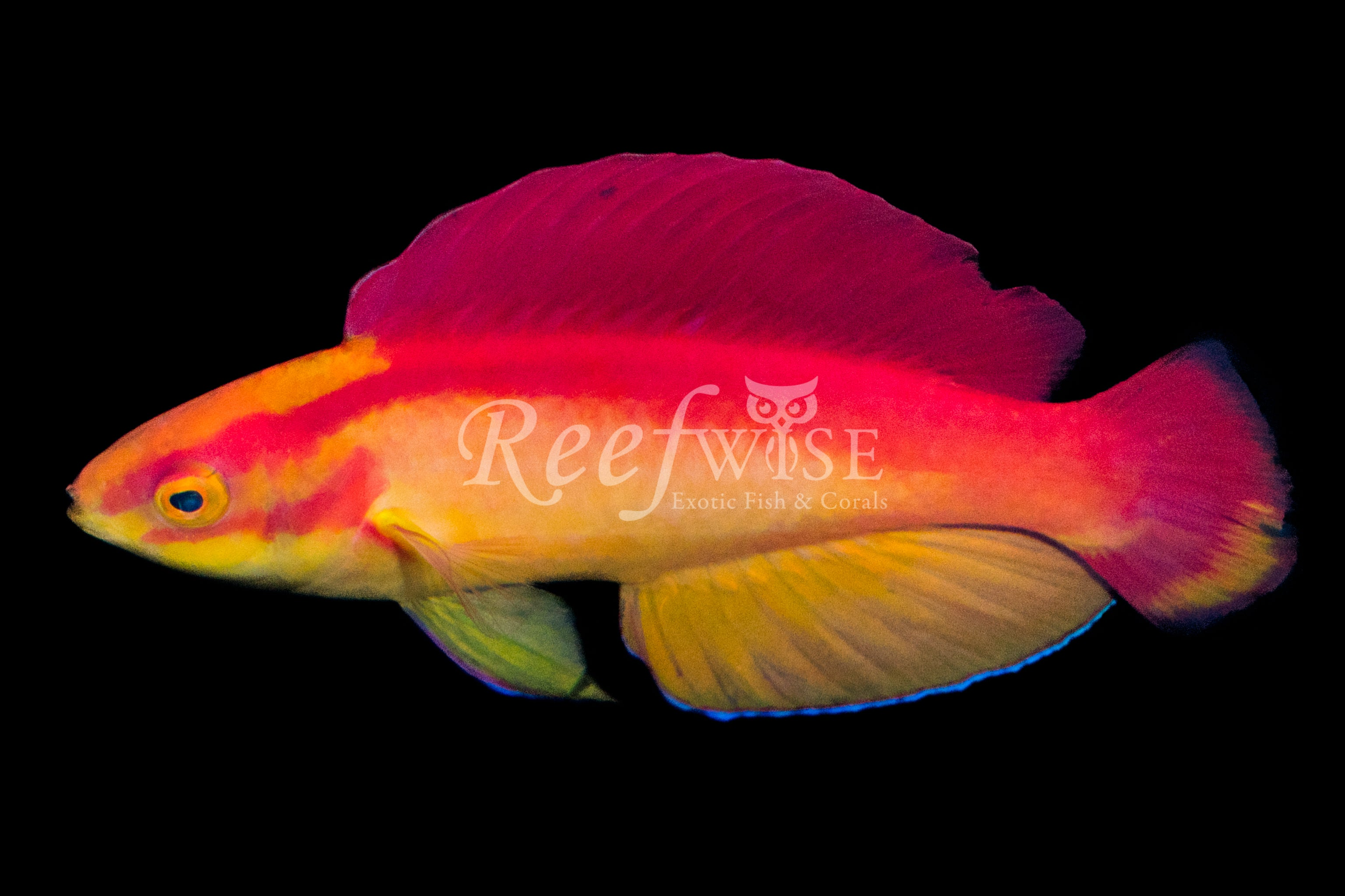 Flame Wrasse Supermale
