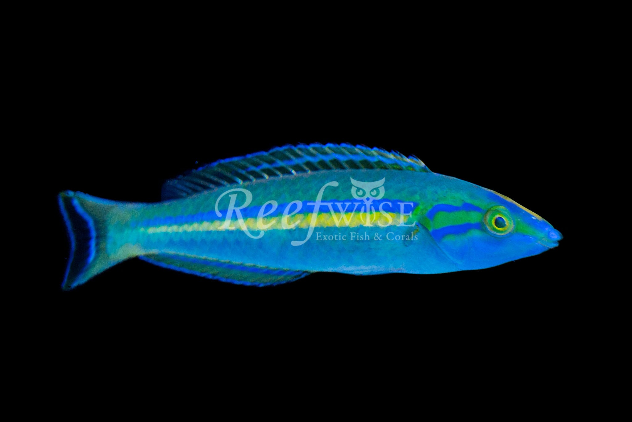 Painted Pencil Wrasse
