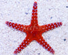 Red Sea Fromia Starfish
