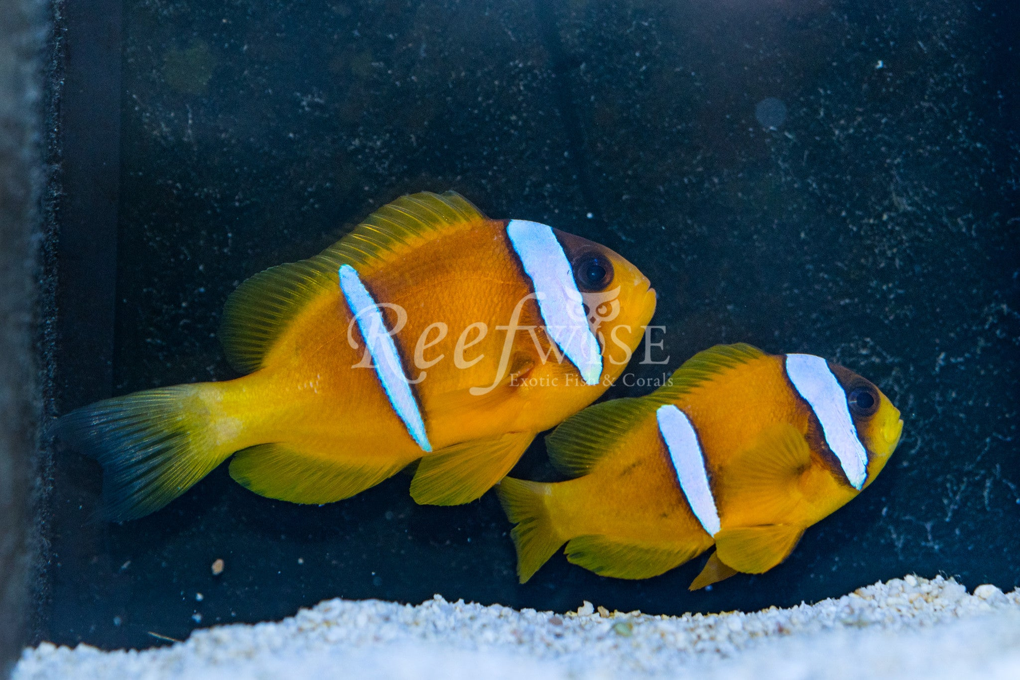 Red Sea Bicinctus Clownfish Pair WYSIWYG