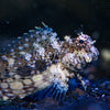 Red Fin Lawnmower Blenny