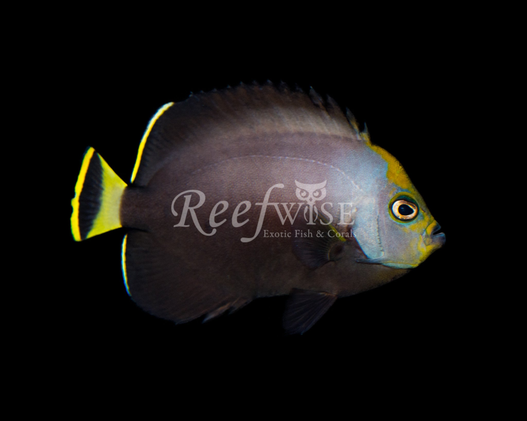 Grey Poma Angelfish