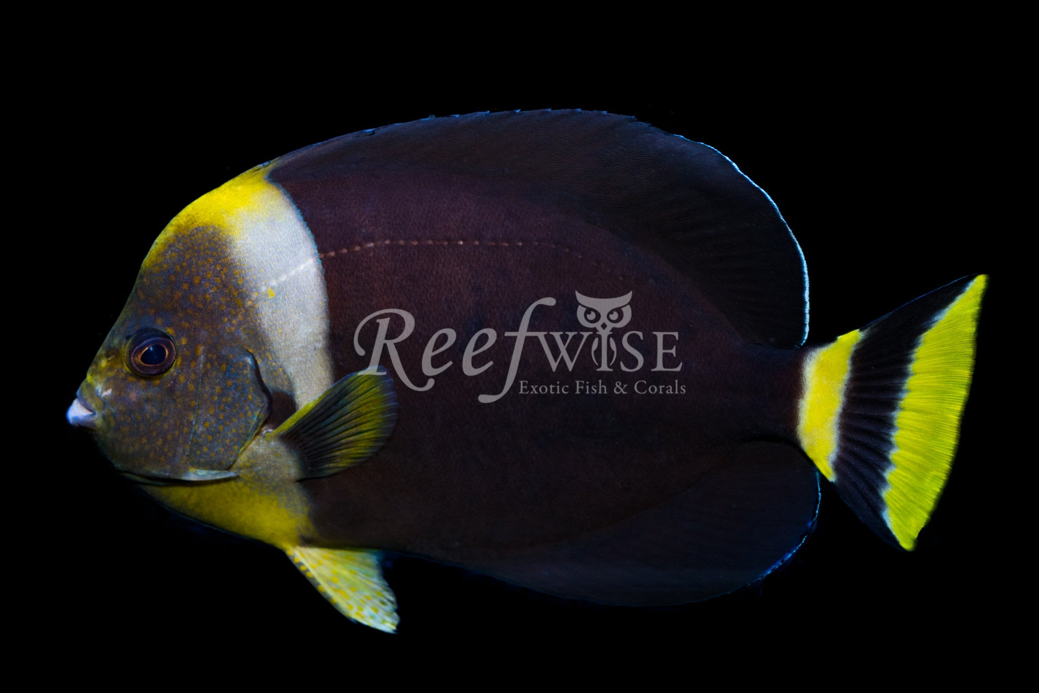 True Personifer Angelfish Male WYSIWYG