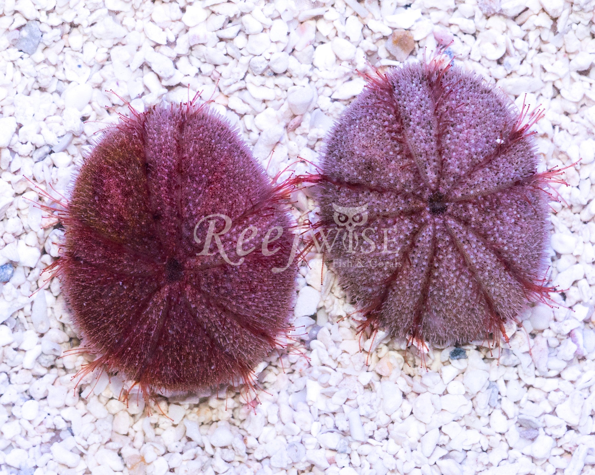 Red Heart Urchin