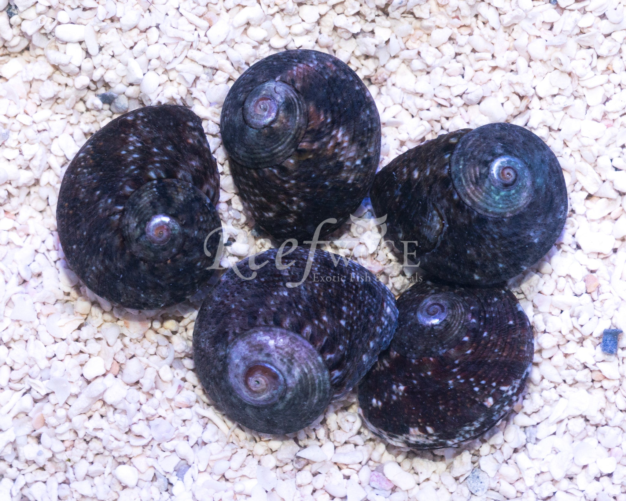 Black Turbo Snails Fiji 5 Pack
