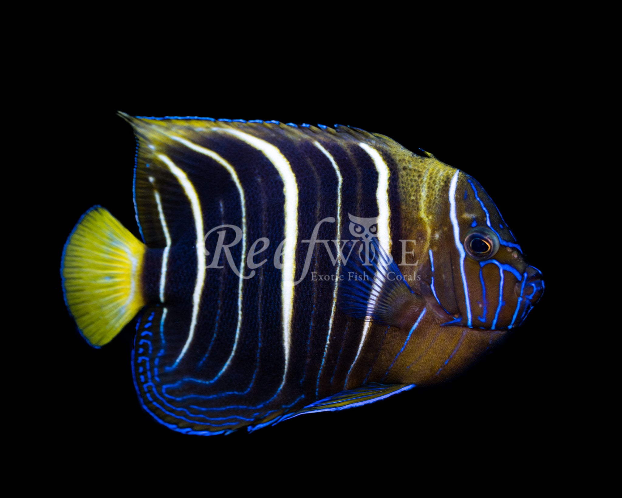 Chrysurus Angelfish