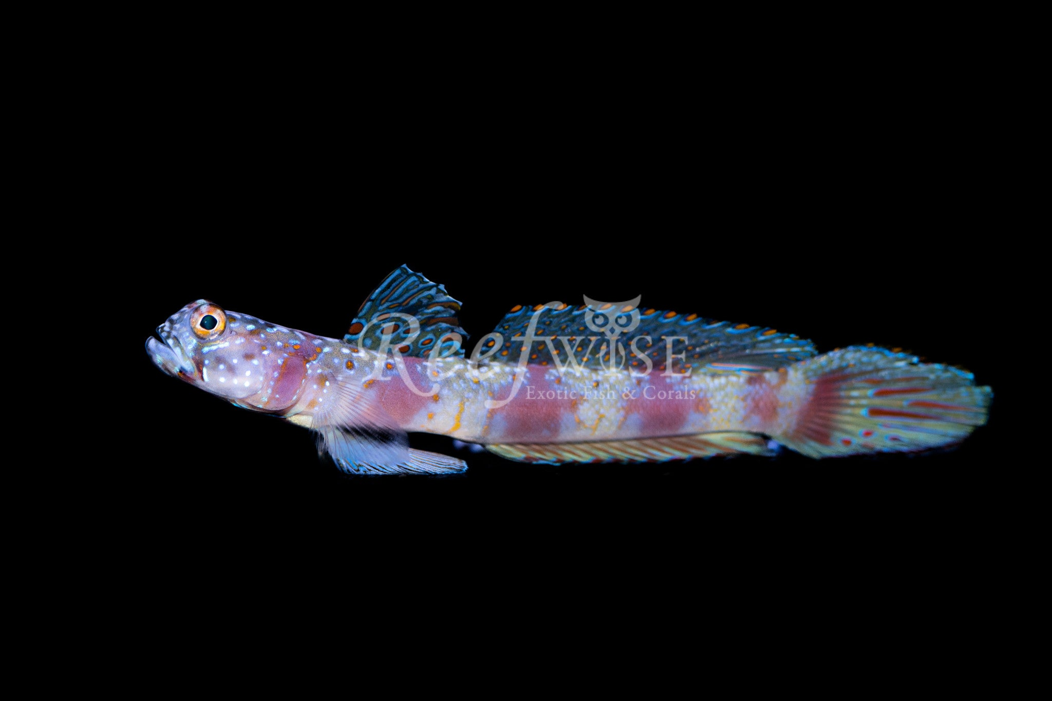 Metallic Shrimp Goby
