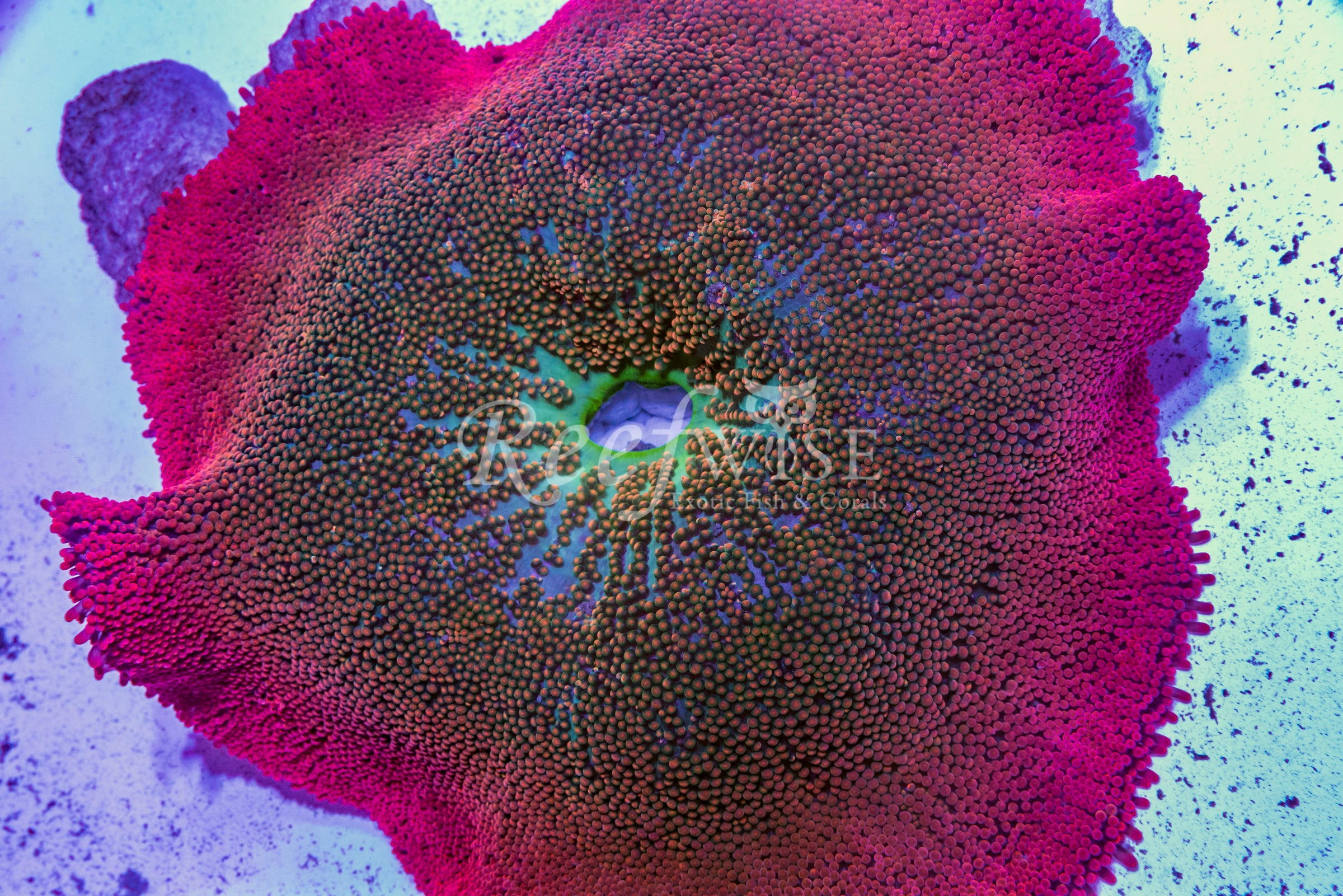 RainbowHaddoni Carpet Anemone