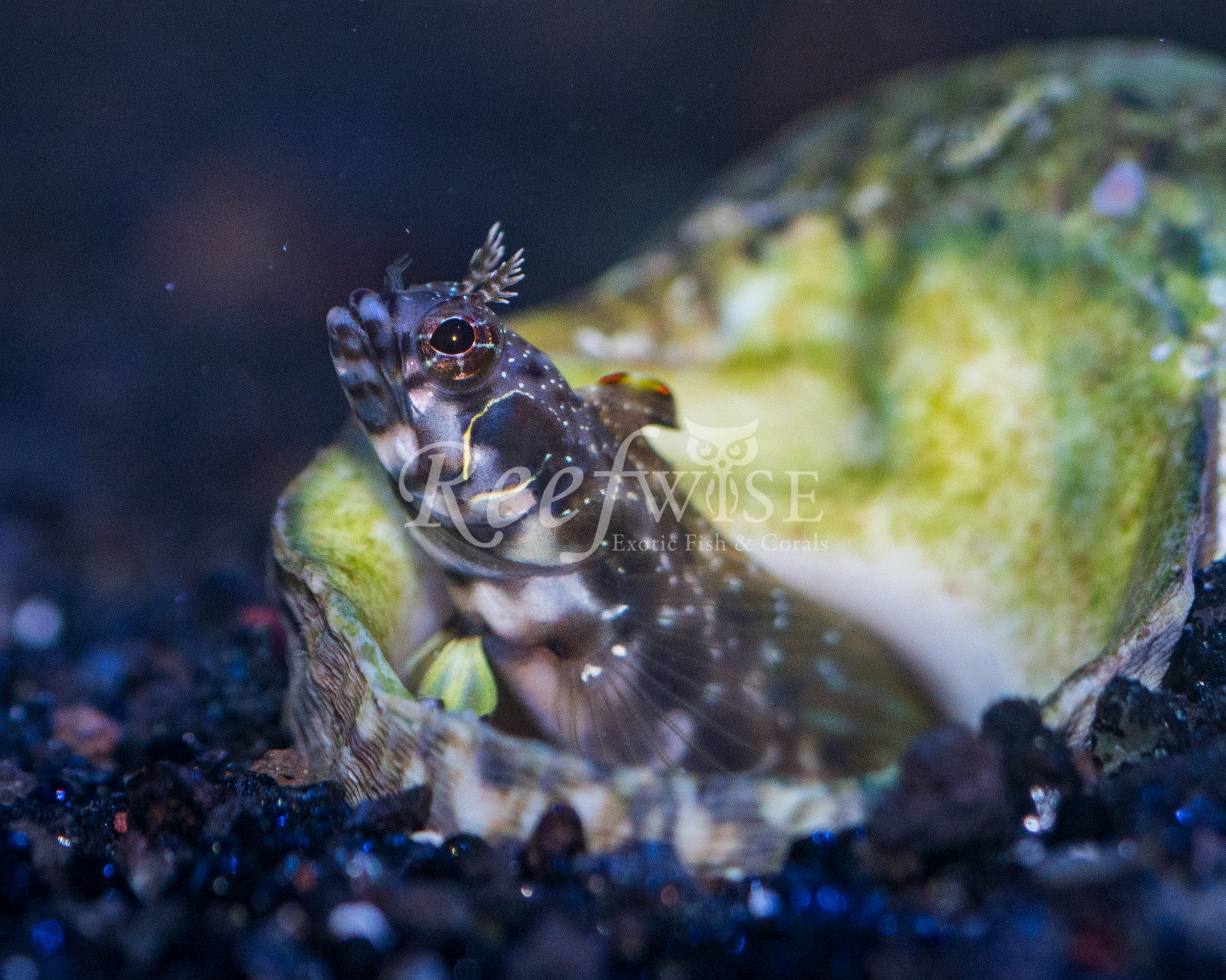 Myers Barnacle Blenny
