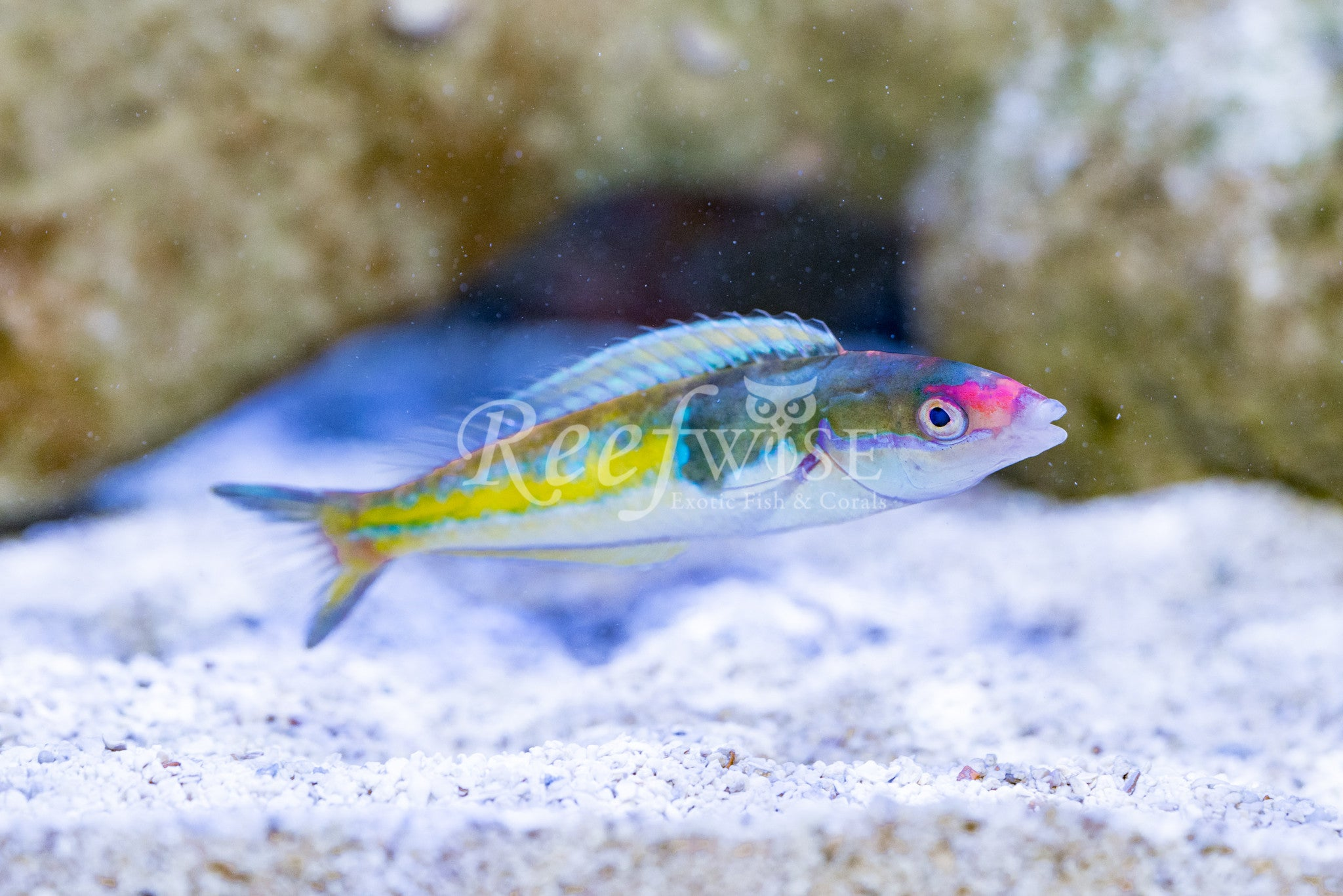 Royal Pencil Wrasse