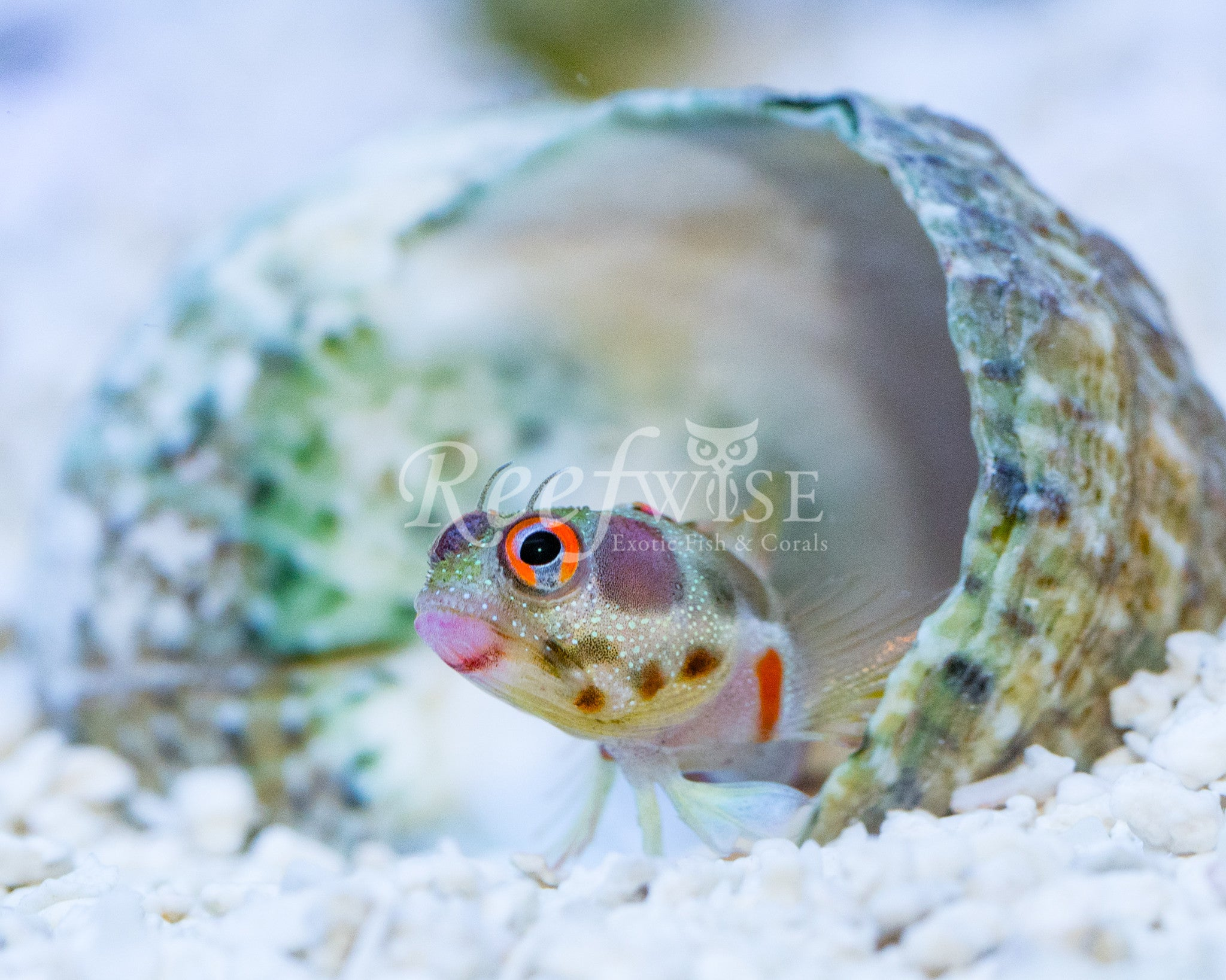 Barnacle Blenny Red Ear