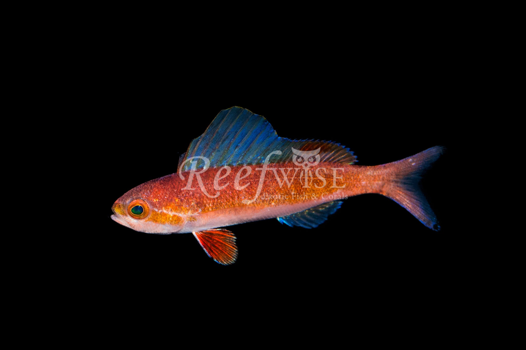 Sailfin Anthias Sumatran
