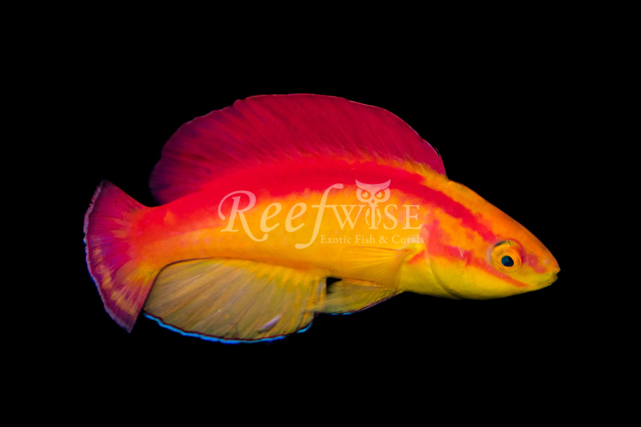Hawaiian Flame Wrasse Pair Reefwise