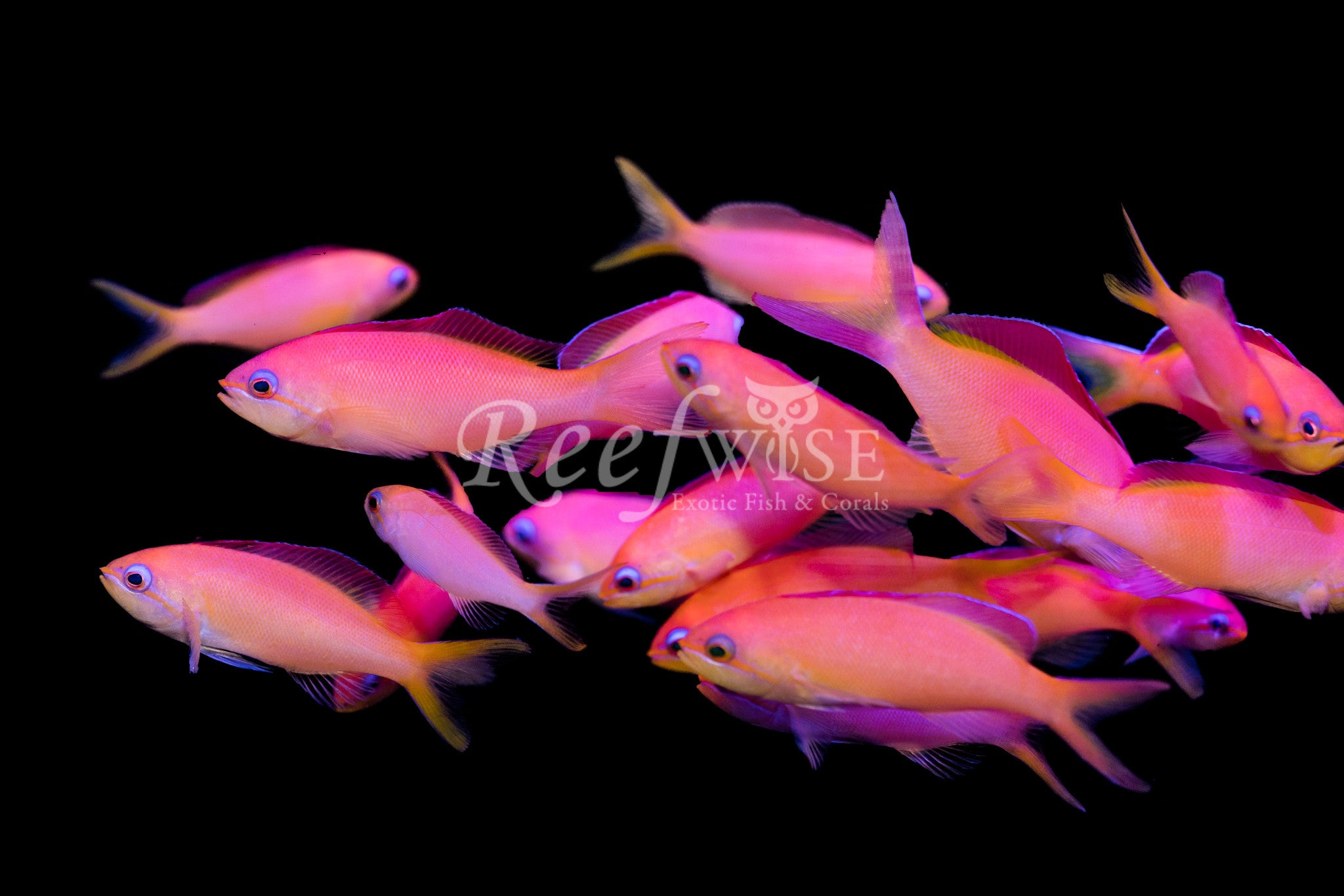 Ignitus Dispar Anthias